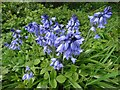 SK3398 : Bluebells by Westwood Bridge by Neil Theasby