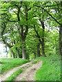 NZ1505 : Avenue of oaks near Whashton : Week 21