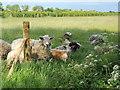 TF1306 : Sheep in a field near Etton by Paul Bryan