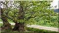 NZ6003 : Ancient Tree, Greenhow Botton by Mick Garratt