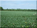 TL2158 : Crop field off Hail Lane by JThomas