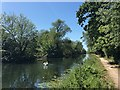 TL4964 : Swans on the Cam above Clayhithe by John Sutton