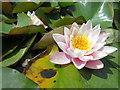 TQ9856 : Pond Lily, Belmont House kitchen garden : Week 28