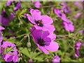 NR6447 : Colour In Achamore Gardens : Week 28