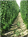 TQ8739 : Hop garden at Wagsaff Farm by Oast House Archive