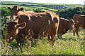 SX1697 : Curious cattle, Tresmorn, Cornwall by Oswald Bertram