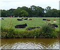 SJ7858 : Cows next to the Trent & Mersey Canal by Mat Fascione