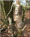 SU7987 : Bark Rings by Des Blenkinsopp