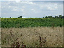 TL1646 : Crop field north of Upper Caldecote by JThomas