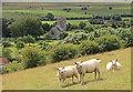 ST3937 : Sheep on Knoll Hill, Moorlinch : Week 34