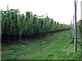 SO6748 : Hop field at Halmond's Frome by Oast House Archive