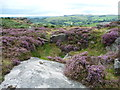 SK2476 : Flowering heather, Froggatt Edge by Christine Johnstone
