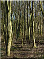 SK5608 : Woodland at the Castle Hill Country Park by Mat Fascione