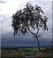 SJ9890 : Tree on Smithy Lane : Week 37