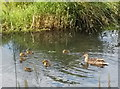 SJ8358 : Mallard and ducklings on the moat at Little Moreton Hall by Linden Milner