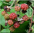 J4078 : Blackberries, Glenlyon, Holywood - October 2015(1) by Albert Bridge