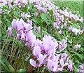 SO8610 : Painswick Rococo Gardens - Cyclamen by Rob Farrow