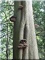 SO8610 : Painswick Rococo Gardens - Bracket fungi by Rob Farrow