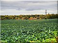 SD5204 : A Field of Cabbages at Up Holland by David Dixon