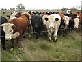 SO8844 : Cattle in Croome Park by Philip Halling