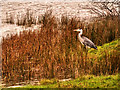 NY3306 : Heron at the Edge of Grasmere by David Dixon