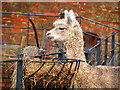 SD8304 : White Alpaca, Heaton Park Animal Centre by David Dixon