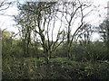 TM3195 : Gnarled trees by Evelyn Simak