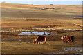 HP5901 : Ponies at Uyeasound : Week 6