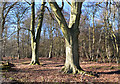 SU6680 : Beech trees, Cane End, Oxfordshire by Oswald Bertram