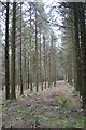 SW9868 : Coniferous forest at Hustyn by Rod Allday