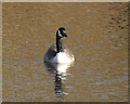 SN6896 : Canada goose, RSPB Ynyshir by Nigel Brown