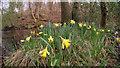 SE7492 : Wild daffodils by Hartoft Beck : Week 14