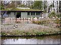 SD4314 : Flamingo Pool and Pen at Martin  Mere by David Dixon