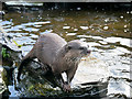 SD4214 : Martin Mere Wetland Centre, Asian short-clawed otter (Amblonyx cinerea) by David Dixon