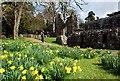 NT5931 : Daffodils at Dryburgh Abbey : Week 14