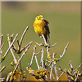 NJ2170 : A yellowhammer (Emberiza citronella) by Walter Baxter