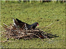 NY2523 : The Moorhen  (Gallinula chloropus) on the nest by Des Colhoun