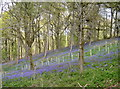 ST6763 : Competition for the bluebells by Neil Owen