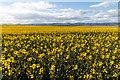 NO3122 : Oil seed rape field at Balhelvie by William Starkey