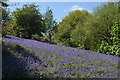 SO7637 : Bluebells outside the ramparts at Midsummer Hill : Week 20