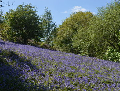 SO7637 : Bluebells outside the ramparts at Midsummer Hill by John M