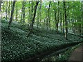 SD9952 : Ramsons in Skipton Castle Woods (2) : Week 20