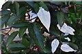"SX0553 : Tregrehan Garden: ""Actinidia pilulosa"" (China) 2 by Michael Garlick"