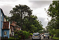 TG0411 : Monkey Puzzle Tree, Dereham Road, Mattishall by J.Hannan-Briggs