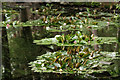 SZ0287 : Waterlilies on the Pond by Peter Trimming