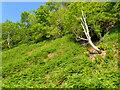 NM5824 : Wooded hillside near Goill' a' Chaiginn by Mick Garratt
