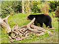 SJ4170 : Spectacled Bear (Tremarctos ornatus) at Chester Zoo by David Dixon