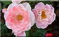 SO7127 : Rose 'English Miss' by Jonathan Billinger