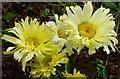 SO6023 : Leucanthemum 'Goldfinch' by Jonathan Billinger