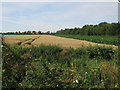 TL5466 : Maize cover crop for pheasants by Hugh Venables